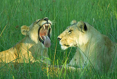 Full of Sound and Fury, Signifying Nothing (oldoinyo) Tags: africa grass lion pride safari predator okavango pantheraleo