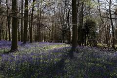 King's Wood, Challock (NovemberAlex) Tags: trees nature bluebells kent challock