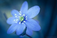 sweet blue (t1ggr) Tags: macro nature floral closeup outdoors samsung mirrorless nx30