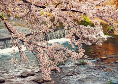 Hanami 2016: Sakura over the Goj River (Jon-F, themachine) Tags: flowers plants plant flower nature water japan river asian outdoors flora asia olympus rivers  cherryblossom  sakura cherryblossoms nippon japo oriental  orient  fareast  aichi bodiesofwater waterside nihon hanami  omd oguchi   chubu japn    2016   m43  mft bodyofwater     mirrorless  chuubu   micro43 microfourthirds  ft xapn jonfu   mirrorlesscamera snapseed   em5ii em5markii  oguchicho