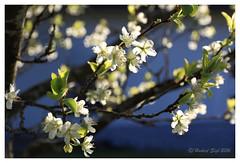 Hopefully we'll get plumes - Vielleicht gibt's Zwetschken (hubert.sigl1) Tags: white tree blossom pflanze blume blte baum plumtree gegenlicht weis zwetschke hubertsigl