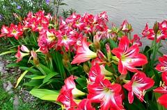 F4K_7280 (68photobug) Tags: flowers nikon lily florida lilies bloom lakeland 28300mm polkcounty nikor outmybackdoor d7000 68photobug