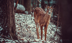 Waldeinsamkeit (limebluphotography) Tags: camera light shadow sun snow color tree love nature beautiful beauty animals forest fur eyes alone peace wind earth walk deer shade wait rest listen limebluphotography
