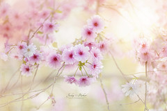 Spring Cherry Blossom (Jacky Parker Floral Art) Tags: pink flowers closeup outdoors spring softness nopeople cherryblossom softfocus freshness springtime naturephotography floralart beautyinnature horizontalformat flowerphotography creativeedit japanesefloweringcherrytree