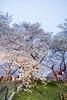 桜ライトアップ (milk777) Tags: 桜 ライトアップ 幸手 権現堂