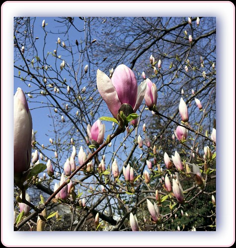 ~~ Flowering Magnolia Tree ~~
