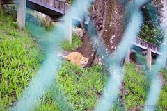 Today's Cat@2016-04-07 (masatsu) Tags: cat pentax cc100 catspotting mx1 thebiggestgroupwithonlycats