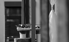 Spring Sun Cat Nap (AnyMotion) Tags: sleeping blackandwhite bw nature animal animals cat tiere backyard chat bokeh balcony balkon natur gato sw katze schlafend neighbour tier hinterhof nachbar flin 2016 springsunshine anymotion frhlingssonne 7d2 canoneos7dmarkii