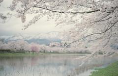 (.) Tags: mountain lake snow film nature japan spring   sakura     pentaxsp pro400h