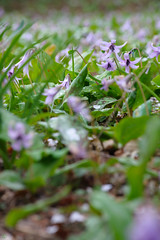 20160403-DSC_5978.jpg (d3_plus) Tags: sky plant flower macro nature rain japan walking nikon scenery waterdrop bokeh hiking drop daily telephoto rainy bloom  tele nikkor  wildflower  kanagawa   dailyphoto   thesedays 80200mm 80200 sagamihara   dogtoothviolet       8020028 zoomlense 80200mmf28d shiroyama  80200mmf28   erythroniumjaponicum     80200mmf28af d700  nikond700  aiafzoomnikkor80200mmf28sed dogtoothvioletvillage