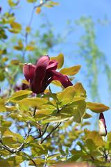 Mulan magnolia Nigra (qooh88) Tags: spring bluesky magnolia shrub mulan  magnoliaceae    lilymagnolia woodyorchid  lilyfloweredmagnolia cutivar     dciduous darkreddishpurple magnoliaquinquepetanigra   magnolialiliifloranigra