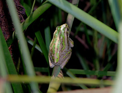 Litoria moorei, Mussel Pool, Whiteman Park, near Perth, WA, 03/04/16 (Russell Cumming) Tags: amphibian frog perth westernaustralia litoria whitemanpark litoriamoorei musselpool