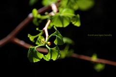 Una primavera ms (Ana Lpez Heredia) Tags: macro tree verde green hoja primavera leaves canon hojas eos leaf ginkgo spring bokeh desenfoque rbol ginkgobiloba tamron brotes brote fondonegro 600d miterraza analpezheredia canoneos600d tamron18270mmf3563diiivcpzd