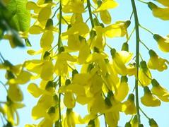 103_1297 (maszat15) Tags: flower color yellow virg aranyes laburnumwatereri srgaakc