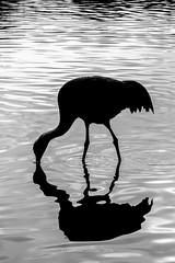 Sandhill Crane (mikesa10) Tags: ca canada water birds britishcolumbia delta ladner sandhillcrane reifelbirdsanctuary deltabc ladnerbc canon6d