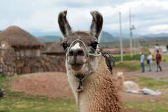 llama - explored :) (Chicha Bachicha) Tags: nature animal nice furry looking llama per puno