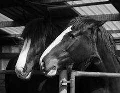 last of the clydesdales-4240025 (E.........'s Diary) Tags: st andrews fife eddie denbrae rossolympusomdem5markiiscotlandapril2016spring