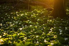 Evening (Matt Champlin) Tags: sunset ny nature canon woodland trillium evening spring woods hiking hike cny wildflowers wildflower springtime 2016