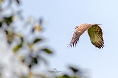 Grey-headed Fish Eagle (Showkat.Shuvro- ) Tags: nature raptor bangladesh wildbirds wildlifephotography greyheadedfisheagle explorebangladesh showkatshuvro