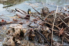 Day 170: Duck couple. Douple. (allankcrain) Tags: water waterfall duck pond ducks forestpark