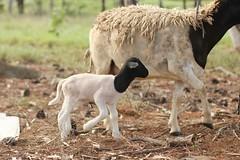 Marigold (Say! Little Hen) Tags: canon sheep canoneos canon50mm canon50mm14 dorper canonphotography canonphotographer canonaustralia canon550d canoneos550d