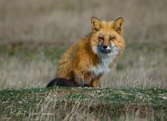 Icy Stare (~ Bob ~) Tags: san juan islands fox winter washington state coat stare fur mammal sanjuanislands washingtonstate wildlife