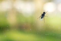 House fly. (Ian Thorp) Tags: house macro window nature animal closeup insect fly invertibrate sb700 d7200 phottixodin sigma105128macro