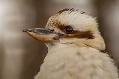 Kookaburra (Rodger Shearer) Tags: bird nature wildlife kookaburra