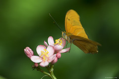 Butterfly 2016-5 (michaelramsdell1967) Tags: pink flowers light orange flower macro green love nature beautiful beauty closeup butterfly garden photography hope photo spring focus natural bokeh pics cincinnati butterflies zen upclose