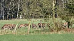 sendes Rotwild / eating red deer (r.stopable1) Tags: landscape tiere natur wiese landschaft reddeer niedersachsen lowersaxony rotwild hirsche eschede sdheide rebberlah starkshorn cellerland