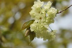 ()/Prunus lannesiana cv.Grandiflor (nobuflickr) Tags: flower nature japan kyoto      kamogawariverhananokairou  prunuslannesianacvgrandiflor 20160409dsc06743