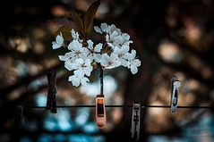 Cherry blossom (LadyMakbeth) Tags: flowers blue orange white black tree nature cherry cord spring blossom bokeh clips rope