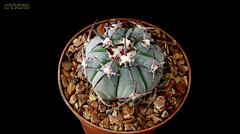Echinocactus Horizonthalonius v. moelleri f. SLP (Nyxtofulakas) Tags: cactus plant nature succulent v f cactaceae echinocactus spines slp horizonthalonius moelleri