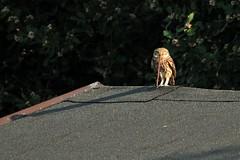La civetta sul tetto (luporosso) Tags: naturaleza bird nature birds nikon natura uccelli owl uccello birdwatcher rapacious rapace naturalmente civetta nikond300s