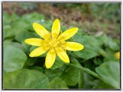Lesser Celandine (foggyray90) Tags: british wildflower lessercelandine