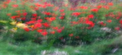 poppies (AMoska) Tags: flowers motion blur flores nature landscape countryside flora natureza paisagem poppy impressionism campo movimento icm papoila impressionismo intentionalcameramovement