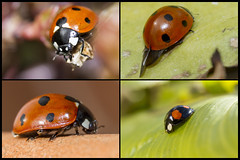 Spot! The odd one out.......a.k.a. Fourplay with the ladies ;-) (The Mad Macrographer) Tags: uk macro garden outdoors ladybugs peterborough canon7d canon60mmmacrousm nikkvalentine