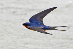 Heading into a strong wind (ctberney) Tags: bird nature windyday flying pond barnswallow hirundorustica