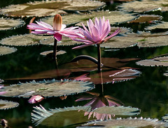 IMG_0328 Water lilies (suebmtl) Tags: pink reflections thailand waterlily lily waterlillies