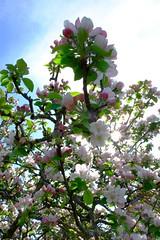Il va y avoir des pommes cette anne (jpto_55) Tags: france fleur fuji fujifilm arbre midipyrnes xe1 fleurdepommier fujixf1855mmf284r