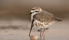 kentish plover   -  - () Tags: life wild birds canon lens super bin ii 600 sultan plover qatar kentish  potographers      superlens potographer     qatarbirds   binsultan lesnafi 600mmii
