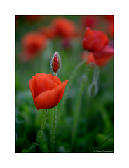 I wanna be like you (g.femenias) Tags: flower macro nature bokeh petra poppy poppies mallorca