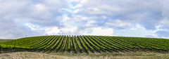 2016 winegrape harvest (pbo31) Tags: california blue sky panorama color green field fruit clouds spring nikon wine farm country harvest grow large panoramic ridge rows grapes ribs bayarea april eastbay hillside livermore stitched grapevine alamedacounty 2016 boury pbo31 d810