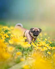 Lola in the fields (brat_ro) Tags: dog flower cute nature animal landscape fun natur lola pug hund lovely mops carlino