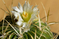 Beauty Among the Thorns (J_Richard_Link) Tags: cactus plant flower canon eos efs60mm macroflower eos7d