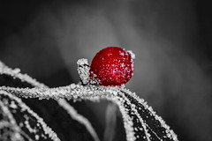 Berry dipped in Frost (Klaus Ficker) Tags: winter cold ice closeup canon frozen berry frost kentucky marco eos5dmarkii kentuckyphotography klausficker