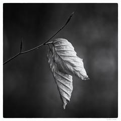023/366 black white day (tideloon) Tags: winter blackandwhite nature square leaf haiku bokeh january fujifilm konica withered beech 135mm entwicklung 2016 blackwhiteday 366dayproject konicahexanonar135mmf25 fujifilmxt1 366the2016edition 3662016