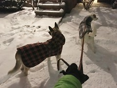 The cool kids. Day 12 of 366. (rocesbeat) Tags: winter snow dogs night pups siblings labmix germanshepherd eveningwalk bestfriends iphone dogcoats iphone6s
