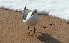 oualidia seagull (kexi) Tags: africa shadow white bird beach water march sand seagull samsung morocco foam maroc 2015 maroko oualidia wb690