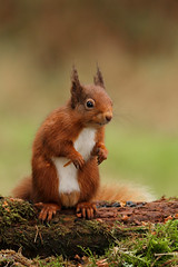 Red Squirrel (forbesimages) Tags: red nature scotland squirrel fife wildlife scottish